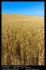 Field of wheat (__Viledevil__) Tags: agriculture bread cereal corn farm field golden grain growth harvest landscape nature outdoors plant rural seed sky summer sun sunlight wheat yellow puertoreal andalucía españa es
