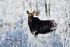 Unbalanced DSC_6083 (Ron Kube Photography) Tags: alberta canada moose fauna nature animal mammal southernalberta nikon nikond500 d500 ronaldok alcesalces ronkubephotography