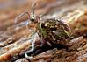 Ptenothrix sp.3 f.1 with vesicles extended (Bugldy99) Tags: springtail symphypleona animal arthropod arthropoda collembola closeup macro macrocloseup nature vesicle collophore hexapod hexapoda
