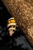 Florida Everglades Liguus Fasciatus Tree Snail (ac4photos.) Tags: snail liguus evergladessnail floridatreesnail nature invertebrate snailphotography naturephotography invertebratephotography nikon d500 ac4photos ac