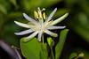 Passiflora mucronata (Marcelino Dias) Tags: passiflora mucronata restinga bahia litoral maracujá passifloraceae