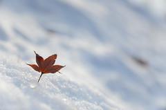 falling in the snow (javan123) Tags: snow leaf dof winter seasons wet cold bokeh nikon sigma 28