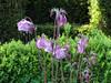 CKuchem-5933 (christine_kuchem) Tags: akelei blüte blüten garten insekten nahrung natur naturgarten nektar pflanze privatgarten schatten schattengarten selbstaussaat sommer wildpflanze naturnah natürlich rosa rot weis wild