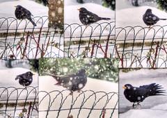* ... Un'altra sorpresa * ...Another surprise * (argia world 1) Tags: collage uccello bird merlo blackbird neve snow inverno winter
