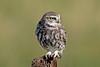 Little Owl (drbut) Tags: littleowl athenenoctua owls birdofprey bird birds nature avian wilflife canonef500f4lisusm