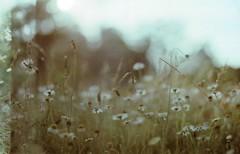 little world (Lore Stars) Tags: film naturaleza nature daisies 35mm analógica pentaxmv autochinon50mmf17 bokeh dof lorestars expired field countryside ferraniasolaris galicia fourcountriesonemonth flickrexplore