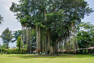 ... a very big tree ...
