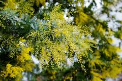 Mimosa Tree's (Acacia dealbata, フサアカシア) Yellow Blossoms / Sunday in San Francisco (takasphoto.com) Tags: adealbata apsc acacia acaciadealbata alameda alamedacounty amarillo america angiosperms bayarea berkeley bluewattle california californiacoastrange californiastate color eeuu eastbay eastbayregionalparkdistrict estadosunidos eudicots fabaceae fabales fremont fuji fujixt1 fujixt1fujifilm fujifilm fujinon fujinonxf50mmf2rwrlens green greenplants hiddenvalleytrail kingdomplantae lens mimosa mirrorless mirrorlesscamera missionpeak missionpeakregionalpreserve missionpeeker monumentpeak mountallison nature norcal northamerica northerncalifornia oakland unitedstates unitedstatesgeologicalsurvey unitedstatesofamerica weatherresistant weatherseal westcoast westoakland xt1 xtranscmosii xtransii xf yellow f2 tree