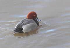 Redhead duck (vischerferry) Tags: redhead duck aythyaamericana divingduck mohawkriver