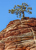Rock And Tree, Zion National Park, Utah (rebeccalatsonphotography) Tags: ut utah np zion nationalpark zionnationalpark redrock tree ponderosa pine rebeccalatsonphotography canon february winter 5dsr 100400mm