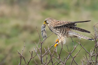 Kestrel that just has catched a mouse (explore)