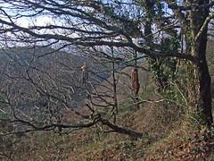 Recording wind chimes (bamboo, 2 sets) in copse by Hunter's Path, Teign Gorge (Philip_Goddard) Tags: europe unitedkingdom britain british britishisles greatbritain uk england southwestengland devon dartmoornationalpark drewsteignton teignvalley teigngorge hunterspath views scenery landscapes woodland wood valley hill windchimes recording winter