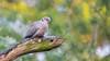 Turkse tortel - Eurasian Collared Dove (Wim Boon (wimzilver)) Tags: vogel canoneos5dmarkiii canon300mmf4lis14ex bird duif