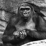 Gorilla Blending with Rocks thumbnail