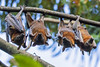 Flying Fox - Fruiit Bat (1) (bidkev1 and son (see profile)) Tags: animal buywildlifephotography canonphotography fauna flyingfox fruitbat insect invertebrate kevindickinsonfineartphotography nativewildlife nature nonnativewildlife wildanimal wildlife wildlifeofaustralia wildlifeofuk
