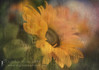 John's Sunflowers. (Sylvia Slavin ARPS (woodelf)) Tags: flower flowers sunflowers remembrance suicide son love tears condensation lensbaby velvet funeral depression summer