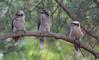 laughing kookaburra (Dacelo novaeguineae)-2418 (rawshorty) Tags: rawshorty birds canberra australia act symonston