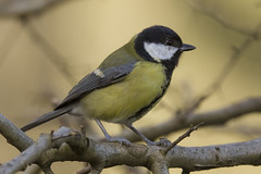 GREAT TIT (_jypictures) Tags: animalphotography animals animal canon7d canon canonphotography wildlife wildlifephotography wiltshire nature naturephotography photography pictures birdphotography bird birds birdwatching birding birdingphotography birders