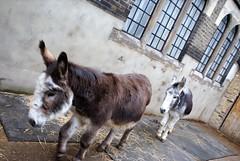 DSC06980 City Farm Donkeys (wain_tigress73) Tags: donkeys animals farm urban