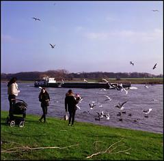Rolleis Winter (05) Feeding the Birds (Hans Kerensky) Tags: rolleiflex 35c tlr schneider xenotar fuji pro 160ns plustek opticfilm 120 january 2018 kessel nl winter river maas bird feeding
