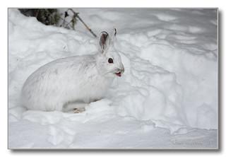 1E1A4023-DL   Lièvre d'Amérique / Snowshoe hare.