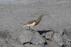 Indian Pond Heron at Taqah S24A5414 (grebberg) Tags: indianpondheron ardeolagrayii ardeola heron bird taqah dhofar oman december 2017