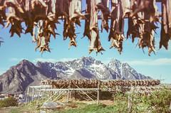 Fish & Mountain (hiphopmilk) Tags: copyright©jaredyehwooehmoehfilms nikonfm2n nikonfm2 nikon fm2 35mm 135film film analog analogue kodak nikkor jaredyeh hiphopmilk north europe scandinavia nordic norway lofoten islands nordland henningsvær village vågan mountain fish stockfish dried cod drying flake hjell rack