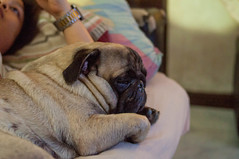 jarvis the pug (santi.gual) Tags: nikon d5000 yongnuo 35mm f2 pug dog pugs dogs pets