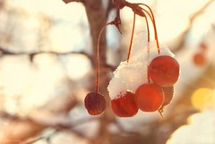 Frosted berries.... (Joe Hengel) Tags: redberries ephrata ephratapa berries tree treebranch morning morninglight goldenlight pennsylvania pa wintert snow frostedberries