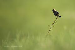 Posing Bobolink (Khurram Khan...) Tags: bobolink grasslands wildlife wild wildlifephotography wwwkhurramkhanphotocom summer ilovenature iamnikon ilovewildlife nikonnofilter khurramkhan naturephotos naturephotography birdphotography green
