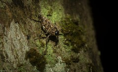 big-eyed weevil (dustaway) Tags: arthropoda insecta coleoptera curculionidae mecopus australianbeetles weevilbeetle rainforest rotarypark lismore nature northernrivers nsw australia rotary park reserve rotaryparkrainforestreserve