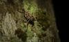 big-eyed weevil (dustaway) Tags: arthropoda insecta coleoptera curculionidae mecopus australianbeetles weevilbeetle rainforest rotarypark lismore nature northernrivers nsw australia