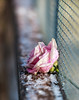 Frozen (dshoning) Tags: fencefriday flower rose frozen chickenwire ice snow winter pink