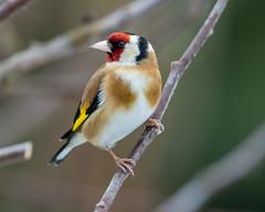 Goldfinch (Carduelis carduelis) (Lathers) Tags: garden 4thmarch2017 canon7dmarkii canon500f4lisusmmarkii goldfinch cardueliscarduelis
