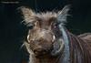 Charakterkopf - head full of character (Noodles Photo) Tags: warzenschwein warthog laurasiatheria artiodactyla paarhufer suina suidae phacochoerus phacochoerusafricanus mammalia säugetier ouwehandsdierenparkrhenen ouwehandsdierenpark rhenen netherlands niederlande zoorhenen zoo canoneos7dmarkii ef100400mmf4556lisusm smileonsaturday beautyofthebeast