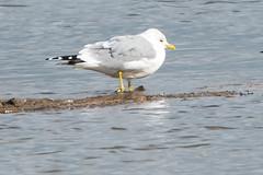 Oare Common Gull