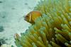Clown Fish || South Sea Island (David Marriott - Sydney) Tags: denarauisland westerndivision fiji fj ikelite south sea island diving scuba clown fish anemone