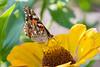 lake katherine. september 2017 (timp37) Tags: flower butterfly lake katherine illinois palos september 2017 insect