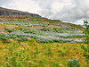And onwards they march! (Digidoc2 - BACK) Tags: lupins alaskanlupins hills clouds sky moss grass landscape purple lava layers valley valleyofthewaterfalls eastfjords iceland