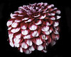 White And Red Dahlia Flower Head (Bill Gracey 17 Million Views) Tags: sandiegocountyfair dahlia fleur flower flor flowershow offcameraflash yongnuo yongnuorf603n lastoliteezbox softbox sidelighting directionallight red white color colorful nature naturalbeauty