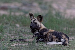 African Wild Dog - Lycaon (happybirds.ch) Tags: afriquedusud africa south kruger national park knp wild sauvage nature happybirds mammal mammifère african africain chiensauvage wilddog lycaon