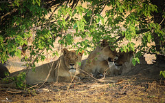 Sister Lionesses Resting (pbmultimedia5) Tags: lioness wild animal wildlife okavango delta khwai river nature trees africa pbmultimedia lion pride
