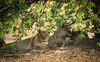 Sister Lionesses Resting (pbmultimedia5) Tags: lioness wild animal wildlife okavango delta khwai river nature trees africa pbmultimedia lion pride
