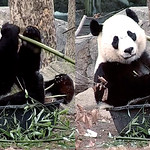 Bei Bei (Ouch!–missed my mouth. Don't worry folks–no panda was hurt during the making of my cub-in-a-tub-eating-boo show. Heehee, ouch.) 2018-01-21 at 7.55.51&.59.19 AM thumbnail