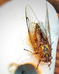 Cicada #beachpebble #erosion #naturewatch #cicada #summer (easegill) Tags: ifttt instagram