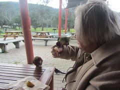 Hand-feeding, Tidal River, Wilson's Promontery, Victoria (d.kevan) Tags: animals birds mum tables food seats verandahs picnicarea australia victoria gippsland tidalriver wilsonspromontory crimsomrosellas