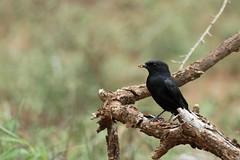 Melaenornis pammelaina (Dindingwe) Tags: melaenornispammelaina gobemouche gobemouchesudafricain flycatcher southernblackflycatcher muscicapidae hlane swaziland