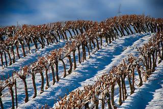 Les vignes sous la neige !