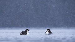 .. (jesscser) Tags: nature natural grèbe oiseau oise affût étang lac sauvage neige jesscser