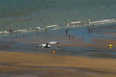 Flying over the sand beach (franco54im) Tags: dday normandy beach sea goéland seagull gabbiano mouette
